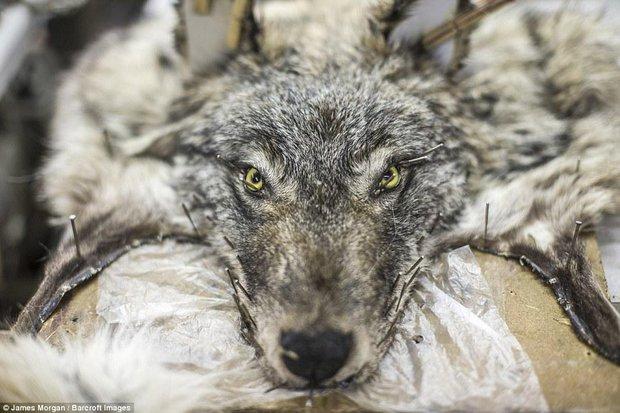 Theo chân những người thợ săn ở Siberia đi lột da chó sói - Ảnh 9.