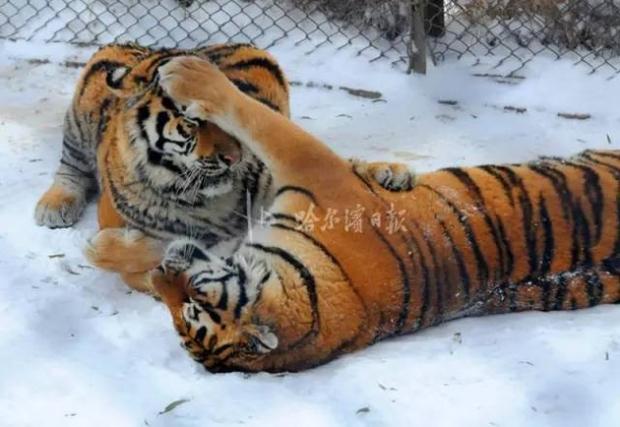 Không chỉ trẻ em thừa cân mới là vấn nạn, ngay đến hổ Trung Quốc cũng đang bị béo phì rồi đây - Ảnh 3.