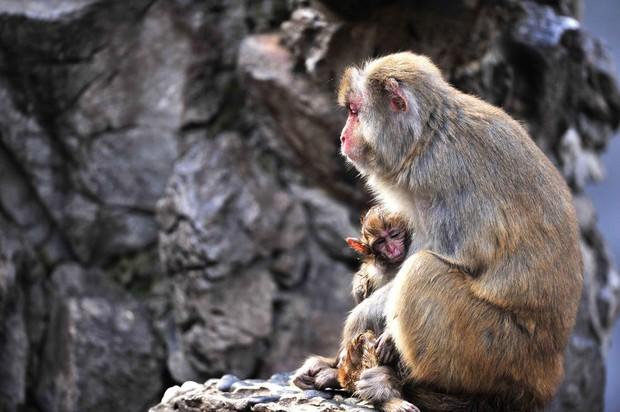 Xót xa trước hình ảnh khỉ mẹ ôm xác khỉ con nửa bước không rời - Ảnh 1.