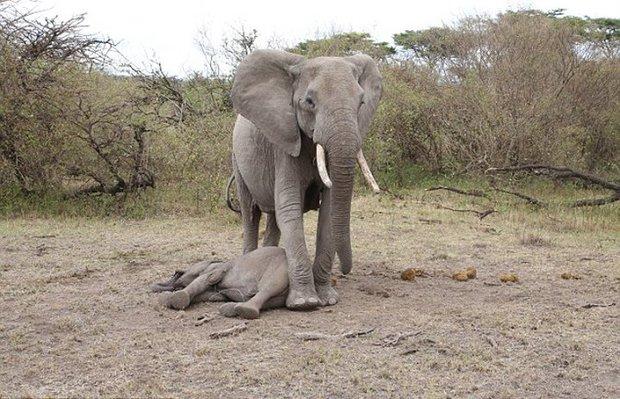 Xúc động trước cảnh tượng voi mẹ cố gắng lay gọi voi con bị mắc bẫy trong vô vọng - Ảnh 2.