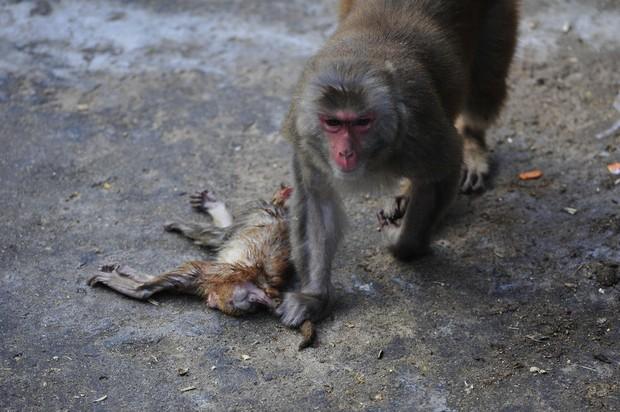 Xót xa trước hình ảnh khỉ mẹ ôm xác khỉ con nửa bước không rời - Ảnh 2.