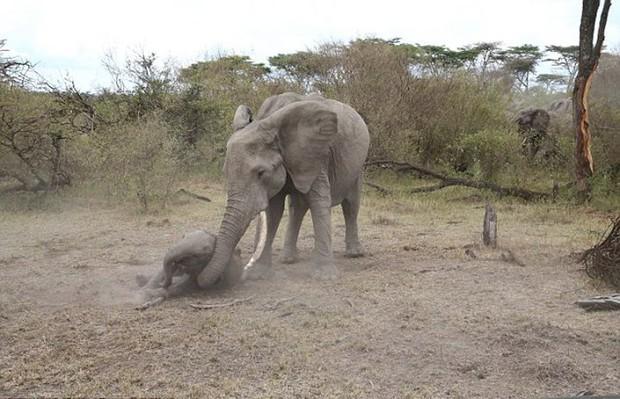 Xúc động trước cảnh tượng voi mẹ cố gắng lay gọi voi con bị mắc bẫy trong vô vọng - Ảnh 1.