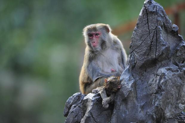 Xót xa trước hình ảnh khỉ mẹ ôm xác khỉ con nửa bước không rời - Ảnh 3.