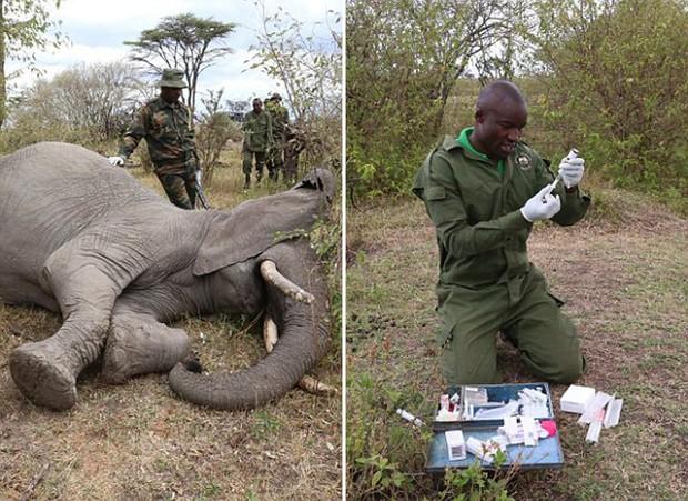 Xúc động trước cảnh tượng voi mẹ cố gắng lay gọi voi con bị mắc bẫy trong vô vọng - Ảnh 7.