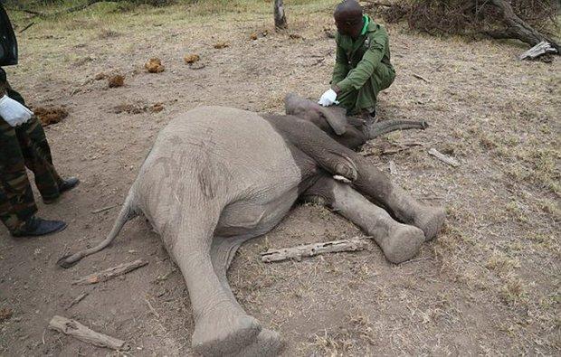 Xúc động trước cảnh tượng voi mẹ cố gắng lay gọi voi con bị mắc bẫy trong vô vọng - Ảnh 5.