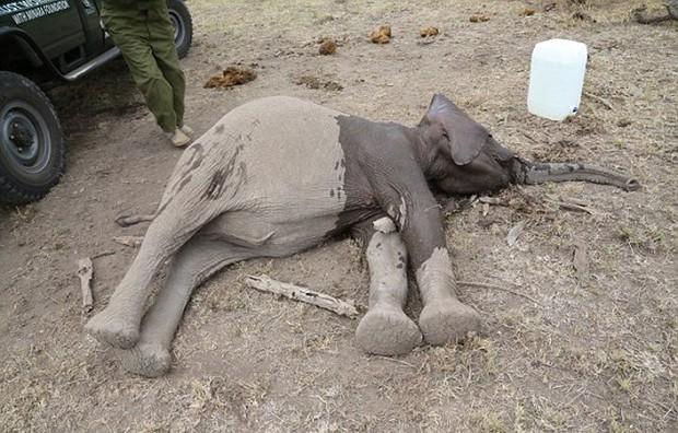 Xúc động trước cảnh tượng voi mẹ cố gắng lay gọi voi con bị mắc bẫy trong vô vọng - Ảnh 4.