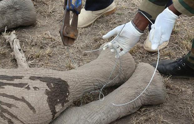 Xúc động trước cảnh tượng voi mẹ cố gắng lay gọi voi con bị mắc bẫy trong vô vọng - Ảnh 8.