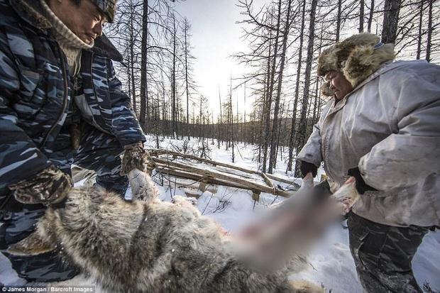 Theo chân những người thợ săn ở Siberia đi lột da chó sói - Ảnh 2.