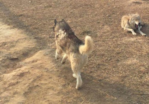 Vườn thú gây phẫn nộ vì nhốt chó Husky vào chuồng sói để tăng tính giải trí cho du khách - Ảnh 4.