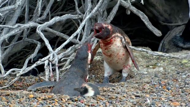Vợ đi theo trai lạ, chim cánh cụt chồng đánh ghen đẫm máu - Ảnh 5.
