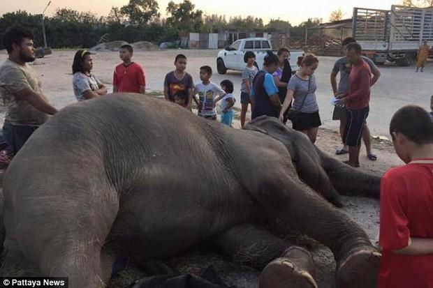 Thế giới phẫn nộ trước vụ việc voi già ngã quỵ và chết khi thấy pháo hoa mừng Năm mới - Ảnh 1.