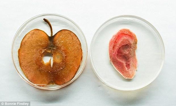 Trồng tai người bằng... táo - dự án siêu vi diệu của nhân loại - Ảnh 1.