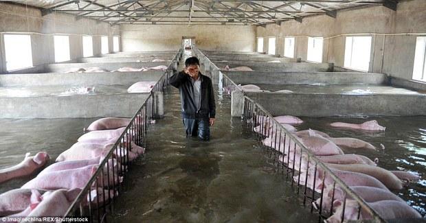 Người đàn ông khóc ròng khi phải bỏ lại 6.000 con lợn chìm trong biển nước - Ảnh 2.