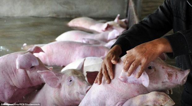 Người đàn ông khóc ròng khi phải bỏ lại 6.000 con lợn chìm trong biển nước - Ảnh 3.