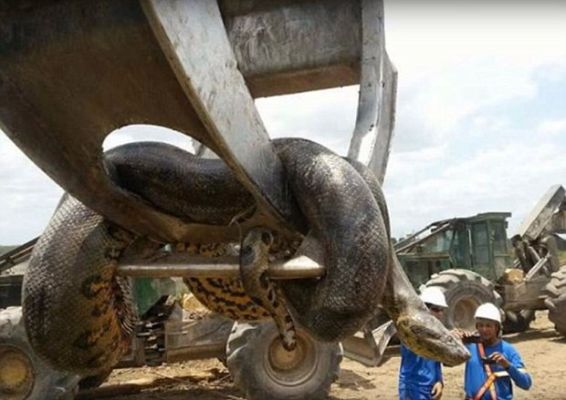 Brazil: bắt được ông trăn khổng lồ nặng gần nửa tấn, dài 10m  - Ảnh 2.