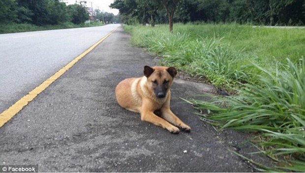 Thái Lan: Sau 1 năm nằm đợi chủ bên vệ đường, chú chó khốn khổ bị xe ô tô cán chết - Ảnh 1.