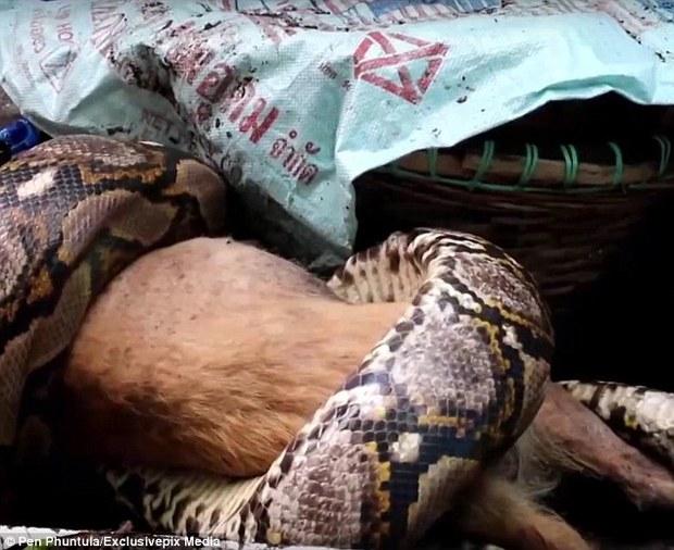 Người chủ hoảng sợ, bất lực nhìn con trăn nuốt chú chó của mình ngay trong nhà - Ảnh 2.
