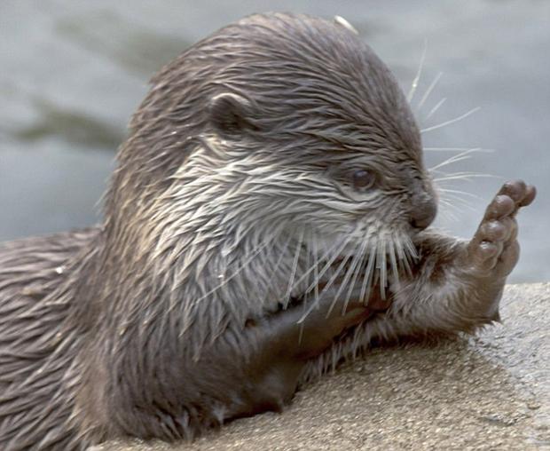 Khoảnh khắc con rái cá mắt lim dim, chắp tay cầu nguyện - Ảnh 2.