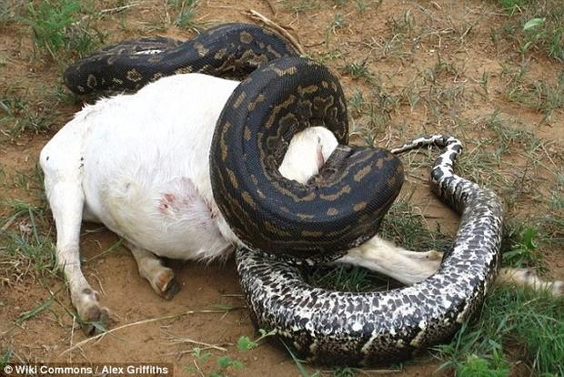Ngỡ tưởng rắn ăn mất gia súc, người dân mổ bụng rắn và phát hiện ra điều bất ngờ - Ảnh 2.