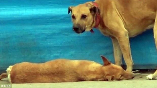 Khoảnh khắc chú chó rơi nước mắt vì cái chết của bạn thân - Ảnh 5.