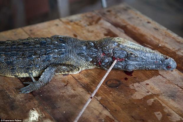 Đằng sau những đôi giày da thời thượng là cả một quá trình lột da cá sấu sống rùng rợn - Ảnh 5.