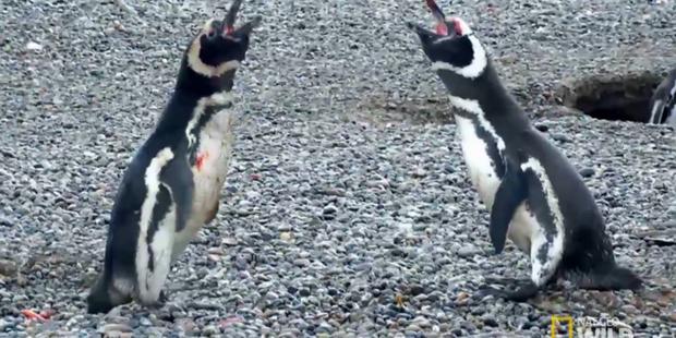 Vợ đi theo trai lạ, chim cánh cụt chồng đánh ghen đẫm máu - Ảnh 3.