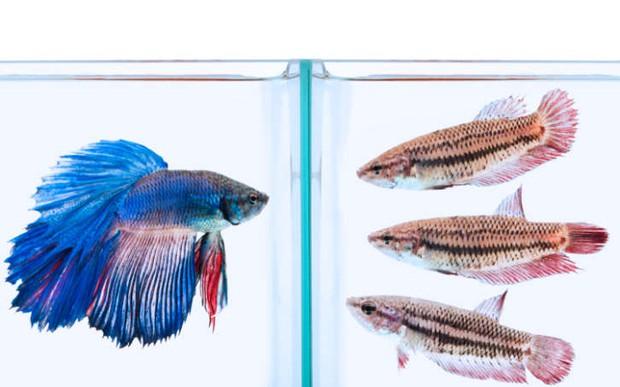Gặp gỡ loài cá duy nhất trên thế giới có thể biến hình như Pokémon - Ảnh 5.
