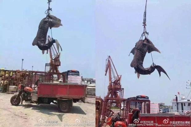 Số phận bi thảm của chú cá mập voi xinh đẹp tại Trung Quốc khiến dư luận thế giới phẫn nộ - Ảnh 4.