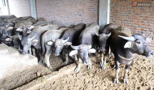 Biệt thự tiền tỷ biến thành nơi nuôi nhốt, chăn thả trâu bò ở Hà Nội - Ảnh 8.