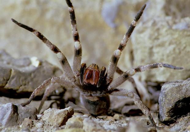 """Phát hiện loài nhện có khả năng khiến nạn nhân """"rạo rực"""" đến chết - Ảnh 2."""