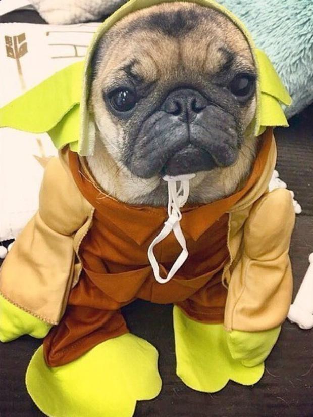 19 em chó cosplay dịp Halloween chất chơi hơn bạn nhiều - Ảnh 5.