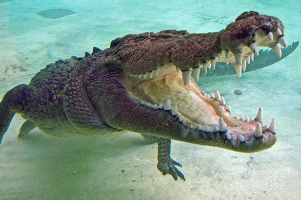 Người phụ nữ nuôi cá sấu như thú cưng trong nhà hàng chục năm trời - Ảnh 1.