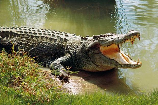 Người phụ nữ nuôi cá sấu như thú cưng trong nhà hàng chục năm trời - Ảnh 2.