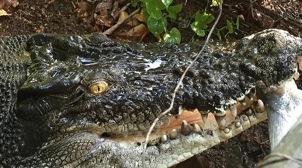 Người phụ nữ nuôi cá sấu như thú cưng trong nhà hàng chục năm trời - Ảnh 4.