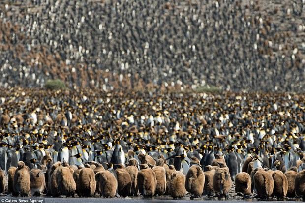 150.000 con chim cánh cụt Châu Mỹ kéo nhau ra bờ biển hóng gió - Ảnh 1.