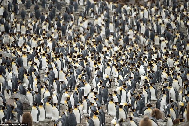 150.000 con chim cánh cụt Châu Mỹ kéo nhau ra bờ biển hóng gió - Ảnh 7.