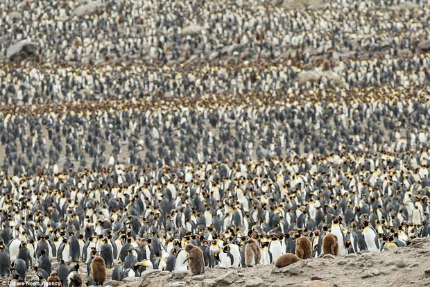 150.000 con chim cánh cụt Châu Mỹ kéo nhau ra bờ biển hóng gió - Ảnh 8.