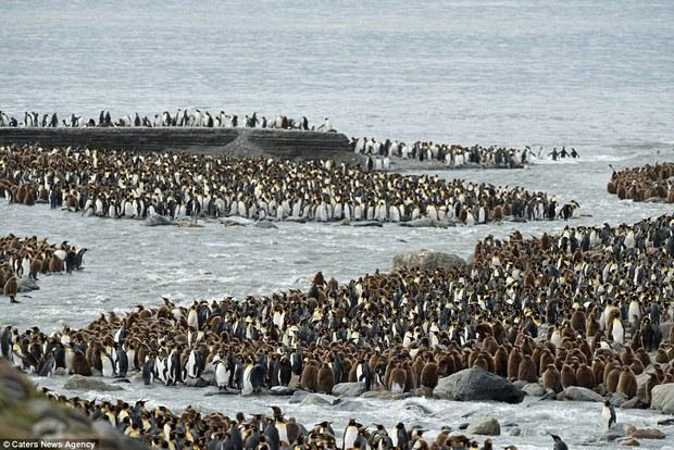 150.000 con chim cánh cụt Châu Mỹ kéo nhau ra bờ biển hóng gió - Ảnh 9.