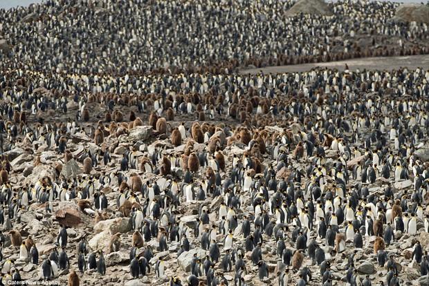 150.000 con chim cánh cụt Châu Mỹ kéo nhau ra bờ biển hóng gió - Ảnh 10.