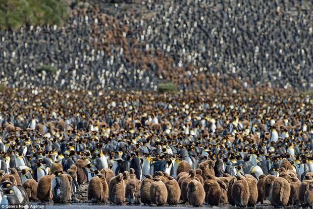 150.000 con chim cánh cụt Châu Mỹ kéo nhau ra bờ biển hóng gió - Ảnh 11.