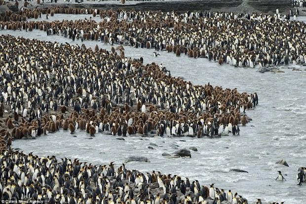 150.000 con chim cánh cụt Châu Mỹ kéo nhau ra bờ biển hóng gió - Ảnh 12.