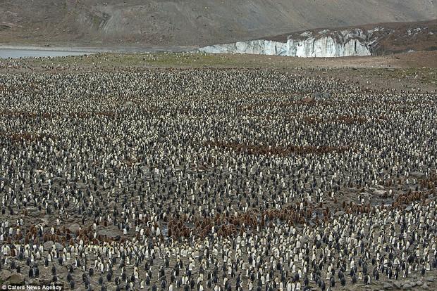 150.000 con chim cánh cụt Châu Mỹ kéo nhau ra bờ biển hóng gió - Ảnh 2.