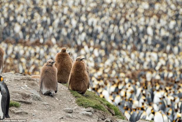 150.000 con chim cánh cụt Châu Mỹ kéo nhau ra bờ biển hóng gió - Ảnh 4.