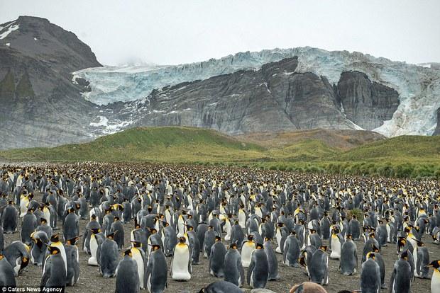 150.000 con chim cánh cụt Châu Mỹ kéo nhau ra bờ biển hóng gió - Ảnh 5.
