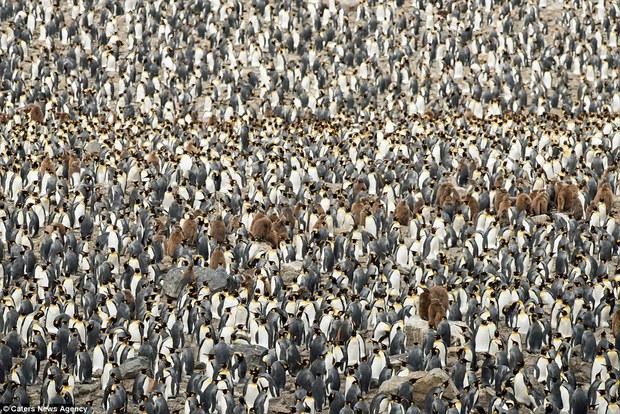 150.000 con chim cánh cụt Châu Mỹ kéo nhau ra bờ biển hóng gió - Ảnh 6.