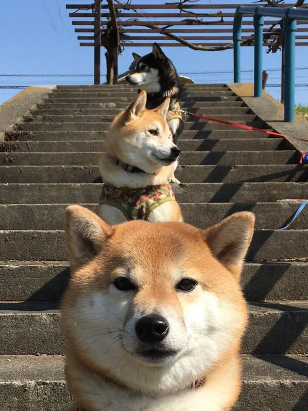 Quên hết mệt mỏi khi ngắm hình ảnh 3 anh em nhà cún Shiba Inu đi đâu cũng có nhau - Ảnh 37.