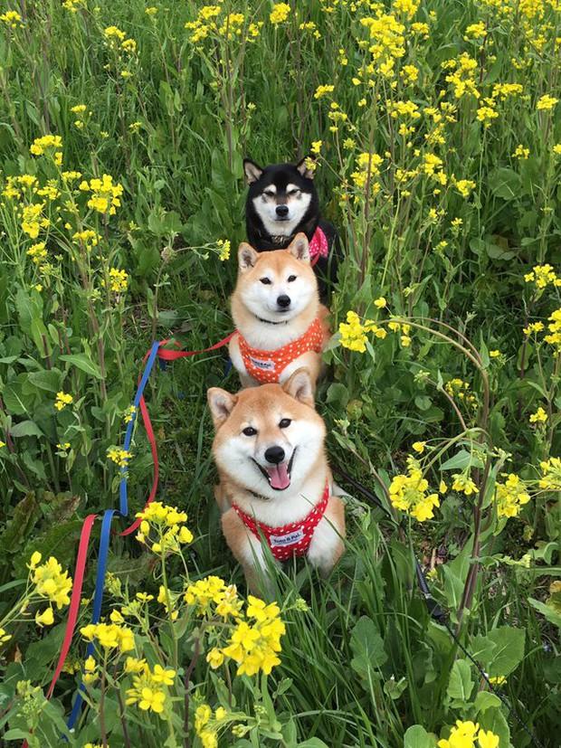 Quên hết mệt mỏi khi ngắm hình ảnh 3 anh em nhà cún Shiba Inu đi đâu cũng có nhau - Ảnh 36.