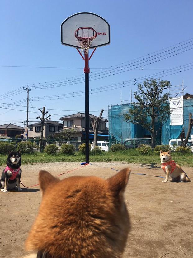 Quên hết mệt mỏi khi ngắm hình ảnh 3 anh em nhà cún Shiba Inu đi đâu cũng có nhau - Ảnh 34.