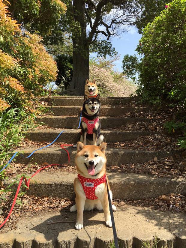 Quên hết mệt mỏi khi ngắm hình ảnh 3 anh em nhà cún Shiba Inu đi đâu cũng có nhau - Ảnh 33.