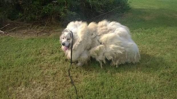 Chú chó đội lốt cừu sau 6 năm không được cạo lông, tỉa tót các thứ - Ảnh 1.